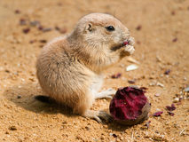 Cynomys ludovicianus - baby of black tailed prairie dog Royalty Free Stock Images
