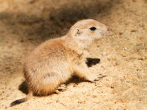 Cynomys ludovicianus - baby of black tailed prairie dog Royalty Free Stock Photos