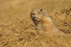 Cynomys ludovicianus - Black-tailed Prairie Dog stock image