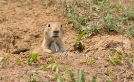 Cynomys ludovicianus, Black-tailed Prairie Dog Stock Photos