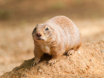 Cynomys ludovicianus - black tailed prairie dog Stock Photo