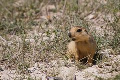 Cynomys (Prairie dog),groundhog, gopher. Little nice groundhog, gopher,marmot sitting in the sand stock photo