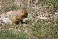 Cynomys (Prairie dog),groundhog, gopher. Little nice groundhog, gopher,marmot sitting in the sand stock photography