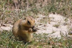 Cynomys (Prairie dog),groundhog, gopher Royalty Free Stock Image