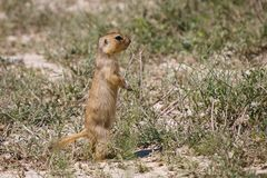 Cynomys (Prairie dog), single onegroundhog, gopher Royalty Free Stock Photos