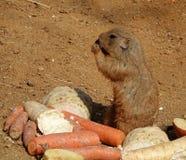 Cynomysludovicianus die wortel in Dierentuin, Praag eten stock fotografie