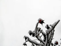 Cynorrhodon dans la neige photos stock