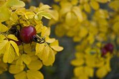 Cynorrhodon et automne Images libres de droits