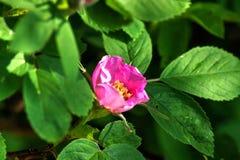 Cynorrhodon Une fleur de forêt Photographie stock libre de droits