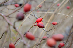 Cynorrhodons (canina de rosa) Photographie stock libre de droits