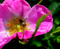 Cynorrhodons (canina de rosa) Photo stock