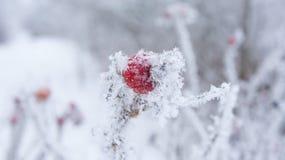 Cynorrhodons dans le gel et les flocons de neige Images stock