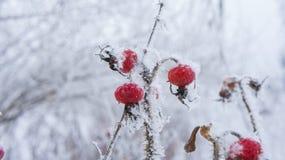 Cynorrhodons dans le gel et les flocons de neige Images libres de droits