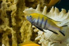 Cynotilapia afra (Цинотиляпия афра). Photo of exotic fish in home aquarium Stock Photography