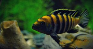 Cynotilapia afra coube Stock Photography