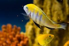 Cynotilapia afra. Photo of exotic fish in home aquarium Stock Photo