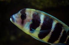 Cynotilapia frontosa. A cichlid from Lake Tanganyika Royalty Free Stock Photos