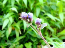 Cynotis Tuberosa – species of flower found in Kaas Plateau. Cynotis Tuberosa is a species of flower found in the Kaas Plateau situated in Maharashtra Stock Photography