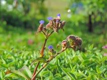 Cynotis Tuberosa —art av blomman grundar i den Kaas platån Arkivbild