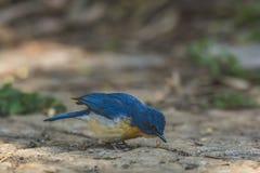 Cyornistickelliae of de blauwe vliegenvanger van Tickell stock afbeeldingen