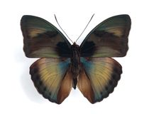Cyparissa de Euphaedra Fotos de Stock Royalty Free