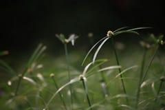 Cyperacea Fotografia Stock Libera da Diritti