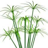 Cyperus ilustração royalty free