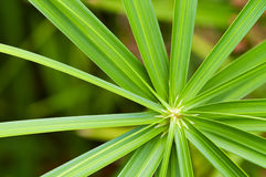 Cyperus alternifoius Royalty Free Stock Photography