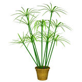 Cyperus Stock Images