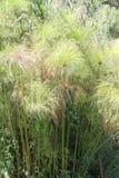 Cyperus papirus Obraz Royalty Free