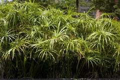 Cyperus papyrus Royalty Free Stock Photos
