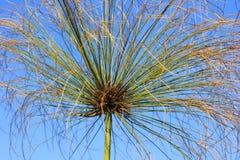 Cyperus papyrus, aquatic flowering plant Royalty Free Stock Image