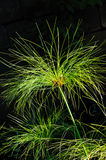 Cyperus papyrus - detail Stock Photos