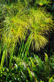 Cyperus papyrus - detail Royalty Free Stock Images
