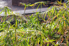 Cyperus papyrus growing in street. Close up green Cyperus papyrus on sunny day Stock Photography