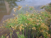 Cyperus papyrus or Nile grass. Royalty Free Stock Images