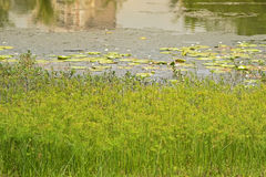 Cyperus Papyrus and other aquatic plants growing along eco lake, Royalty Free Stock Images