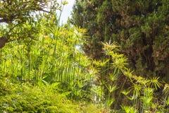 Cyperus papyrus Stock Image