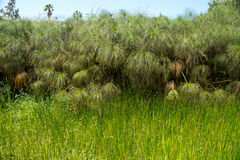 Cyperus papyrus Royalty Free Stock Photography