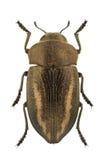 Cyphosoma lawsoniae. Female of Cyphosoma lawsoniae isolated on white background stock photo