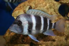 Cyphotilapia frontosa Stock Photo