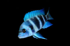 Cyphotilapia sp. Stock Images
