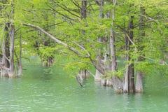 Cyprès de marais envahi sur le lac Image stock