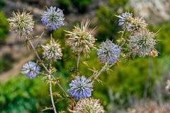 Cypr dzika spiky roślina z kwiatami Obraz Royalty Free