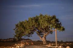 Cypr stary drzewo na tle nocne niebo Iluminująca backlit księżyc Zdjęcie Royalty Free