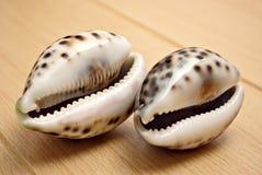 Cypraea shells Stock Image