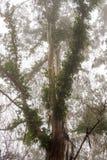 Cypress в ненастной пасмурной погоде на острове Мадейры Стоковое Изображение