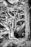 Cypress прибрежный Scrub на этап Lobos стоковая фотография rf