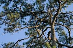 Cypress Fotografia Stock