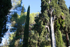 Cypress Imagem de Stock